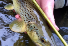 upstream802_trout.jpg